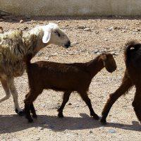 Pecore e capre per le strade