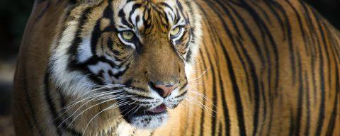 FEFF 2016, La maledizione della Tigre
