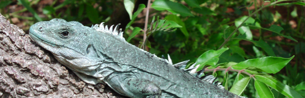 img-enrico_astolfi-iguana-featured