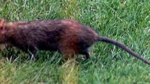 Il Ratto